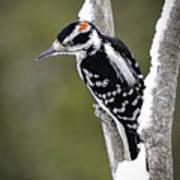 Male Hairy Woodpecker Poster