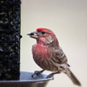 Male House Finch Feeding Poster