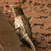 Male House Finch V10 Poster