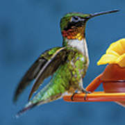 Male Hummingbird Spreading Wings Poster