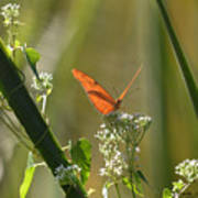 Male Julia Heliconia Butterfly Poster