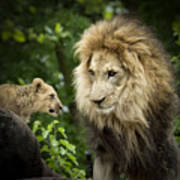 Male Lion And Cub Poster