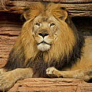 Male Lion Looking Right At Me Poster
