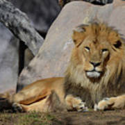 Male Lion Resting In The Warm Sunshine Poster