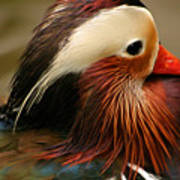 Male Mandarin Duck China Poster