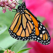 Male Monarch Poster by Steve Augustin