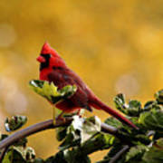 Male Northern Red Cardinal Poster