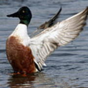 Male Northern Shoveler Wing Flapping Poster