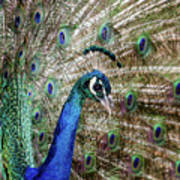 Male Peacock Displaying Poster