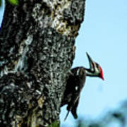 Male Pileated Woodpecker Poster