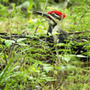 Male Pileated Woodpecker On The Ground No. 2 Poster