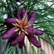 Male Ponderosa Pine Cones Poster