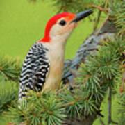 Male Red Bellied Woodpecker In A Tree Poster