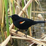 Male Red Winged Blackbird Poster