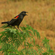 Male Red-winged Blackbird Singing Poster