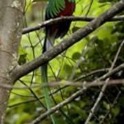 Male Resplendent Quetzal Poster