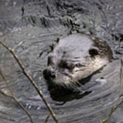 Male River Otter Poster
