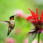 Male Ruby-throated Hummingbird Hovering Near Flowers Poster