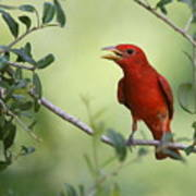 Male Summer Tanager Poster