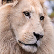 Male White Lion ... Thabo Poster