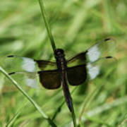 Male Widow Skimmer Dragonfly #4 Poster
