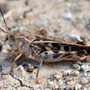 Male Wrinkled Grasshopper Poster