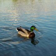 Mallarad Duck 1 Poster