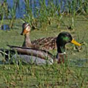 Mallard Duck Pair Poster