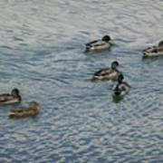 Mallard Ducks In Pond 2 Poster