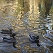 Mallard Ducks On The Canal #1107 Poster