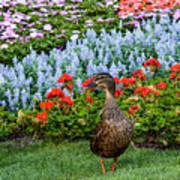 Mallard In The Garden Poster