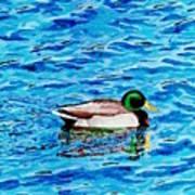 Mallard On Water Poster