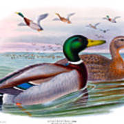 Mallard Or Wild Duck Antique Bird Print Joseph Wolf Birds Of Great Britain  Poster