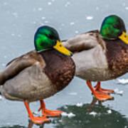 Mallards On Ice Poster