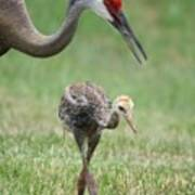 Mama And Juvenile Sandhill Crane Poster by Carol Groenen