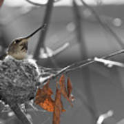 Mama Hummingbird Poster