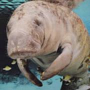 Manatee Swimming Underwater Poster