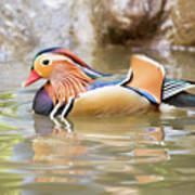 Mandarin Duck Swimming Poster