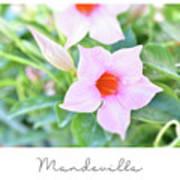 Mandevilla Pink Beauty Poster
