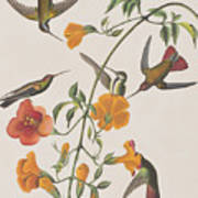 Mango Humming Bird Poster