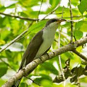 Mangrove Cuckoo Poster