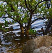 Mangroves And Coquina Poster