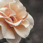 Manito Park Rose Poster