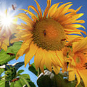 Many Bees Flying Around Sunflowers Poster