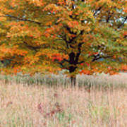 Maple And Tall Grass Poster