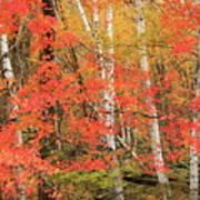 Maple Birch Forest In Autumn Poster