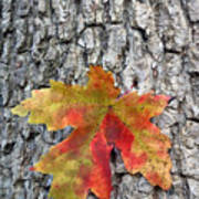 Maple Leaf On A Maple Tree Poster