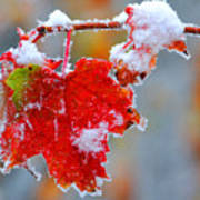 Maple Leaf With Snow Poster