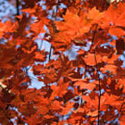Maple Leaves Aglow Poster