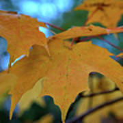 Maple Leaves In Autumn Poster